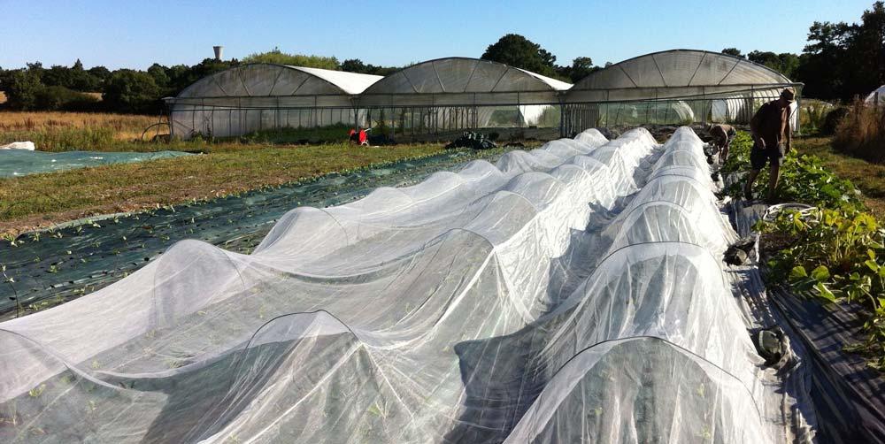Puis couvrir d'un voile de mariée… En 2 heures, nous avons planté 600 plants de choux de Chine et 1300 plants de fenouil.